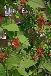 Сначала в России фасоль разводили, в основном, как декоративное растение
