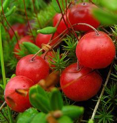 Клюква, единственная ягода, которая может храниться в свежем виде до следующего урожая.