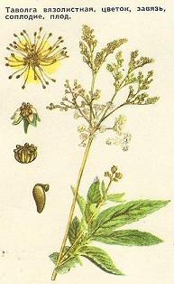 Таволга (лабазник) вязолистная: цветок, завязь, соцветие, плод - увеличить!